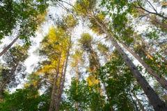 Pine-tree. The trees grow tall up high Stock Image