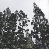 The Pine Tree stock photography