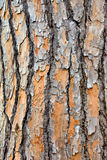 Pine tree trink closeup. Textured bark closeup on pine tree trunk Stock Image
