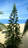 Pine tree in tropical resort Royalty Free Stock Photo