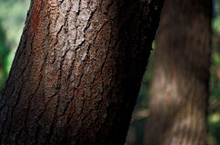 Pine tree trunk. Macro of a pine tree trunk Royalty Free Stock Images