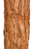 Pine tree trunk. Isolated on background Royalty Free Stock Image