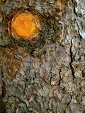 Tree bark. Pine tree trunk bark and cut-off branch Royalty Free Stock Image
