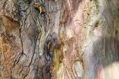 Pine tree trunk Stock Image