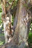 Pine tree trunk Stock Photos