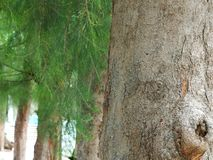 Pine tree trunk Royalty Free Stock Images