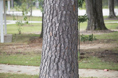 Pine Tree Trunk Royalty Free Stock Photos