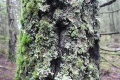 Pine tree trunk covered in moss and lichen Stock Images