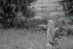 Pine tree trunk in the grass, grey photo royalty free stock photos