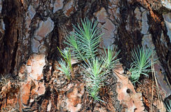 Pine tree trunk with new side branch growth. Stock Images