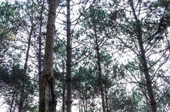 Pine tree trunk Stock Photography