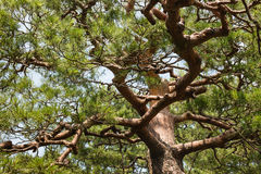 Pine tree trunk with twisted branches and needles Royalty Free Stock Photo