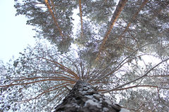 Pine tree. Trunk of the winter pine tree photo Stock Image