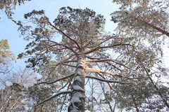 Pine tree. Trunk of the winter pine tree photo Royalty Free Stock Image