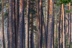 Pine tree trunks Stock Photo