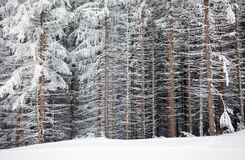 Pine tree trunks covered with snow in winter Stock Photos