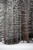 Pine tree trunks covered with snow in winter Stock Image