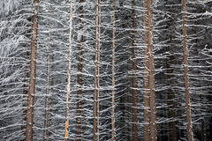 Pine tree trunks covered with snow in winter Royalty Free Stock Photos