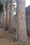Pine tree trunks. Dark pine tree trunks in winter Royalty Free Stock Images