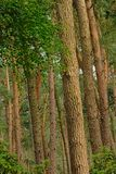 Pine tree trunks, detail of a forest in Flanders. Pine tree trunks, detail of forest in the countryside in Kalmthout, Flanders royalty free stock photo