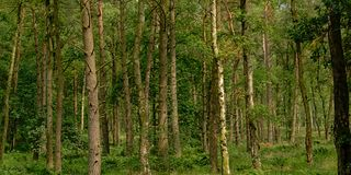 Pine tree trunks, detail of a green spring forest in Flanders. Pine tree trunks, detail of a green spring forest in the countryside in Kalmthout, Flanders stock photography