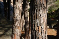 Pine tree trunks dominating the countryside. A series of pine tree trunks royalty free stock image