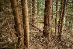 Pine tree trunks in the forest Royalty Free Stock Image
