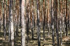 Pine tree trunks in forest - coniferous trees. Forest landscape stock photo