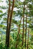 Pine tree trunks forest detail. Green vegetation Stock Photo