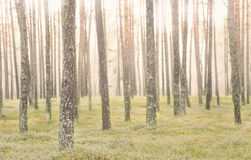 Pine tree trunks in  forest. Pine forest with trunks in focus Stock Images
