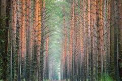 Pine tree trunks. Forest, tree trunks long pine Stock Image