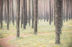 Pine tree trunks Royalty Free Stock Photography
