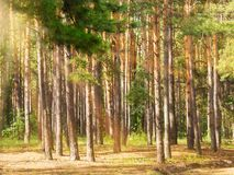 Pine tree trunks with sun rays in the forest. Pine tree trunks with sunbeams in the forest, summertime stock photography