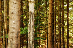 Pine Tree Trunks. The trunks of pine trees in a forest on the slopes of Monte Zoncolan in Friuli, north east Italy Royalty Free Stock Image