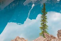 Pine tree at turquoise Moraine Lake. Banff National Park, Alberta, Canada stock photo