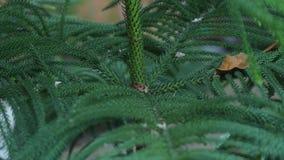 Pine tree twig closeup background.  stock footage
