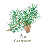 Pine tree twig with a cone. Green Branch of Pinus sylvestris Royalty Free Stock Images