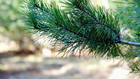 Pine tree twig in forest stock video
