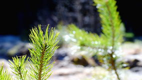 Pine tree twig in forest stock footage