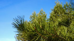 Pine tree twig in forest stock video footage