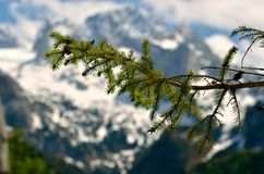 Pine tree twig in mountains Stock Image