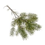Pine tree twigs, fir, isolated on white. Royalty Free Stock Photos