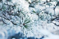 Pine tree twigs in snow, winter background. Evergreen pine tree twigs in snow in winter woodland, Christmas background Royalty Free Stock Photos