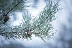 Pine tree twigs in winter Stock Photo
