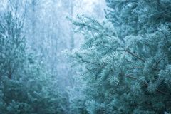 Pine tree twigs in winter Stock Photography