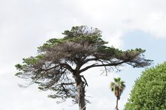 Umbrella-like pine tree with dry leaves and branches silhouetted against blue sky stock photography