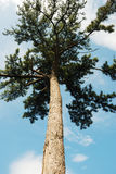 Pine tree. Under blue sky Royalty Free Stock Photography