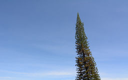 A pine tree under the blue sky. In Dalat highlands, Vietnam Royalty Free Stock Photo