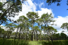 Pine tree under deep blue sky in mountain Stock Images