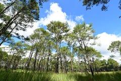 Pine tree under deep blue sky in mountain Stock Image